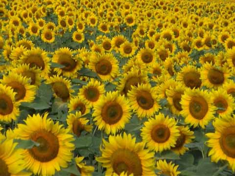 files/gallery/sunflowers06.jpg